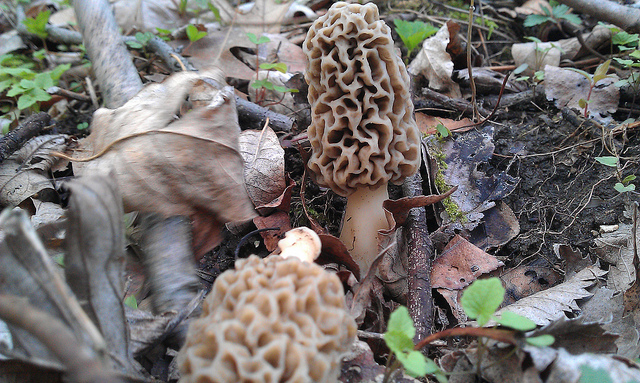 Where to Find Morels in Indiana | 2018 Mushroom Hunting Guide morel mushroom recipes and hunting season indiana by johnny klemme